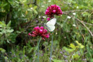 Полско цвете в Родопите