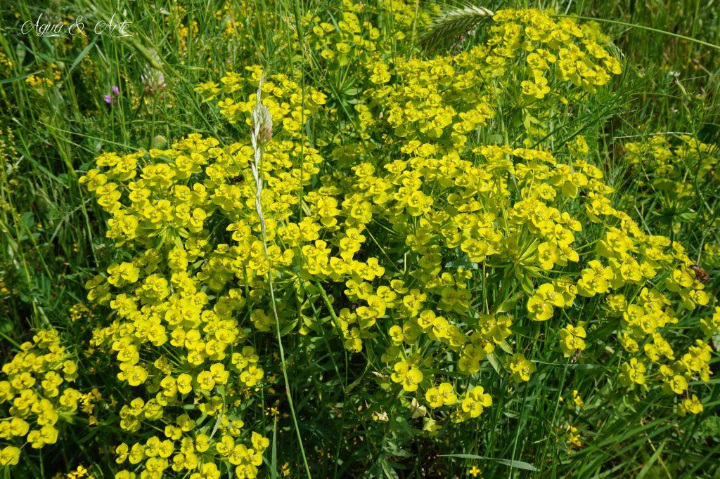 Полски цветя в Родопите